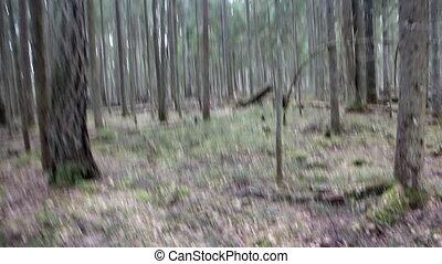 Walk around old mysterious pine forest. - Walk around old...