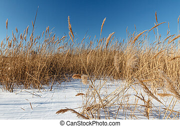 Seedy reed stalks - Seedy reed stems on the winter river