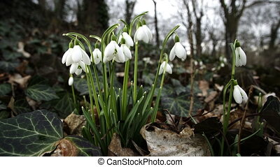 Close Up Macro of Springtime Snowdrop Flowers - Close up...