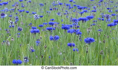 Cornflowers blooming in wheat field, flowers and organic...