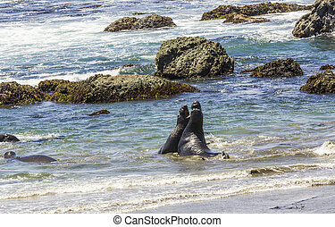 sealions fighting in the ocean - sea lions fighting in the...