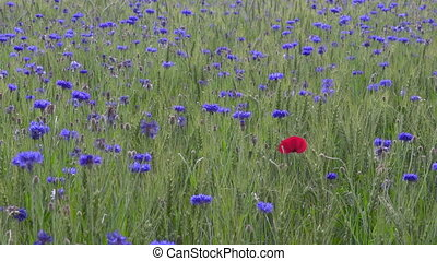 Single poppy cornflowers in wheat field, flowers food, individuality symbol