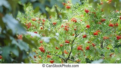 Rowan tree with rowan berry.