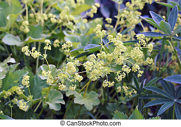 Alchemilla mollis (Lady's Mantle) Robusta in a garden in...