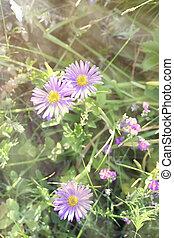 Aster alpinus (Alpine aster) macro, toned using filters,...