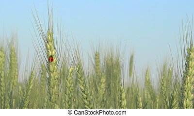 Ladybug ear in wheat field, organic food agriculture,...
