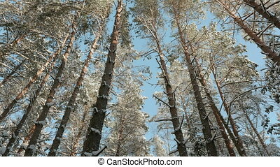 Blue sky and tops of snowy trees