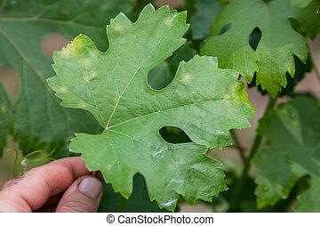 Sick grape leaf closeup