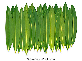 Oleander Leafs on a white isolated Background