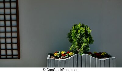 Cypress plants in white wooden flowerbed on white background...