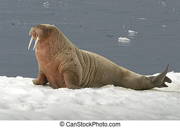 Walrus on the Ice