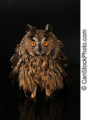 owl on a tree - owl standing in water at night