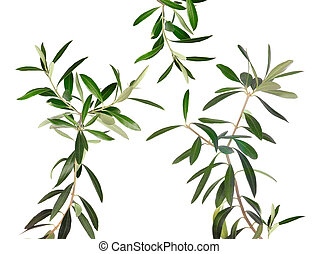 Fresh olive tree branches isolated