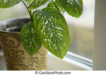 Dieffenbachia houseplant near window. - Fragment of...