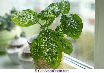 Dieffenbachia houseplant near window. - Fragment of...