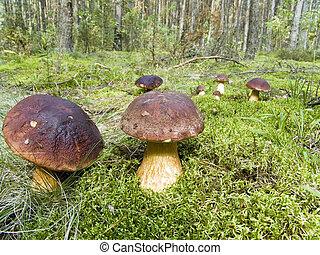 Ceps in wood - The fantastic mushroom glade in wood