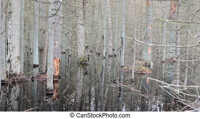 Death of old forest 3. Beavers flooded old spruce forest -...