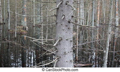 Death of old forest 2. Beavers flooded old spruce forest -...