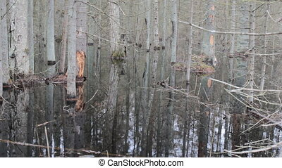 Death of old forest 4. Beavers flooded old spruce forest -...