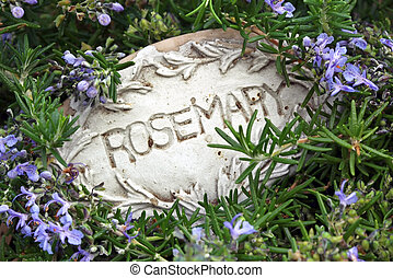 Rosemary bush, marked with old herb name plaque. Lovely dewy...