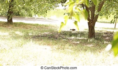 Landscape with Grass Feeding Duck - Hot summer sunny day...