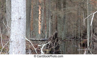 Death of old forest 1. Beavers flooded old spruce forest -...