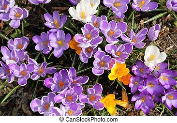 Crocuses. - Colorful crocuses bloom in early spring.