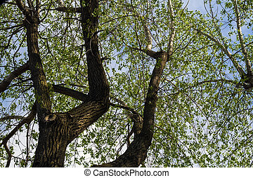 poplar deciduous tree view from under