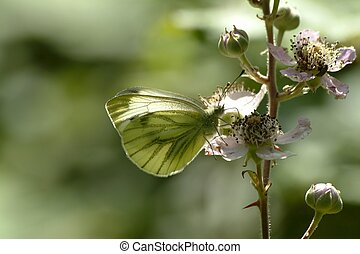 Green-veined White butterfly, Pieris napi, nectaring