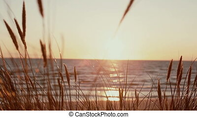 A close up of dry grass swaying in the wind with a beautiful...