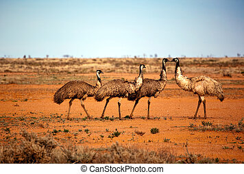 Outback Emus - Emus in the wild, outback New South Wales,...