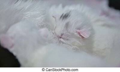 White cute newborn kitten sucks milk at a cat - White cute...