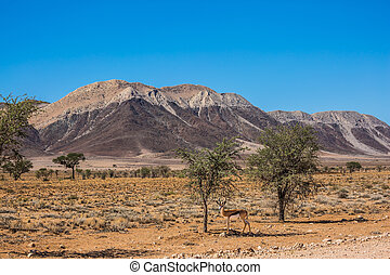 African steppe - Impala antelopes grazing in the savannah....