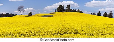 golden field of flowering rapeseed, canola or colza with...