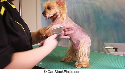 Yorkshire Terrier dog at pet salon - Groomer comb hair of...