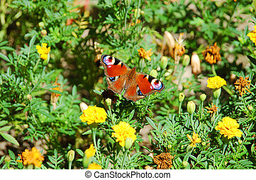 Butterfly on tagetes flower - Butterfly Inachis io on...