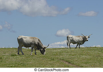 Maremman cows grazing in the sky - Two maremman cows are...