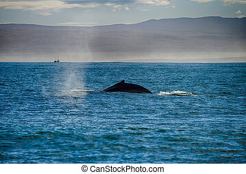 Whale comming up for breath in Husavik, Iceland