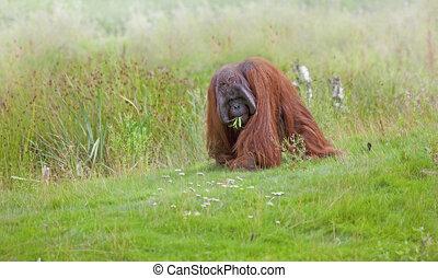Orangutan photographed in Sabah, Borneo, Malaysia