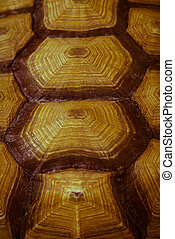 Carapace - A close up of a caramel colored carapace of a...