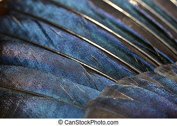 Magpie feathers - Close up of iridescent european magpie...