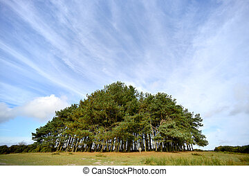 Clump - Copse of scotts pine trees under blue sky and...