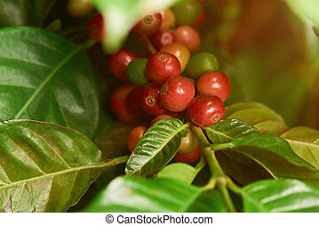 Sick coffee plant tree with red beans closeup