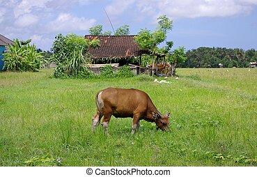 äng, ko, betning