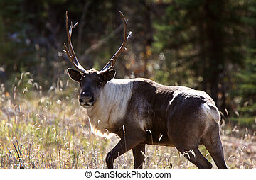 Woodland Caribou along Alaska Highway in British Columbia