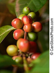 Group of coffee beans on plant branch