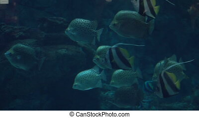 exotic Aquarium fishes swim in sea blue water - a lot of...