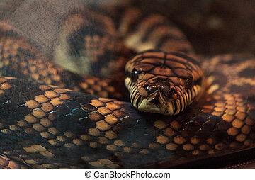 Scrub python known as Morelia amethistina is found in...