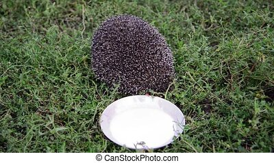 Young hedgehog around a saucer of milk in garden - Young...