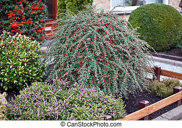 small front garden with red berry bush. horizontal shot